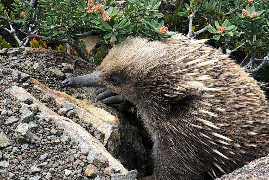 Local echidna often seen on the track