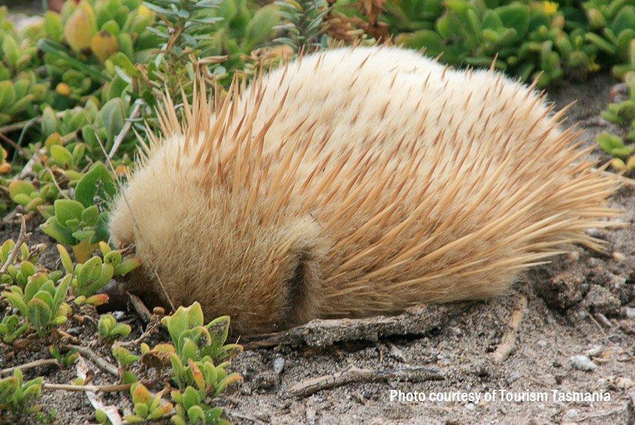 White Echidna, Flinders Island
