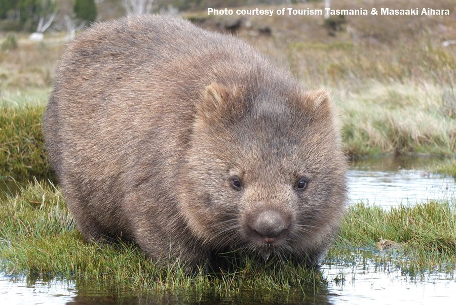 One of many local wombats