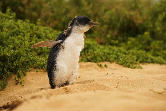 Phillip-Island-Little-Penguin
